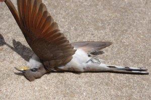 dead_mockingbird_ref_8_by_fackeltanz-d3haxlw